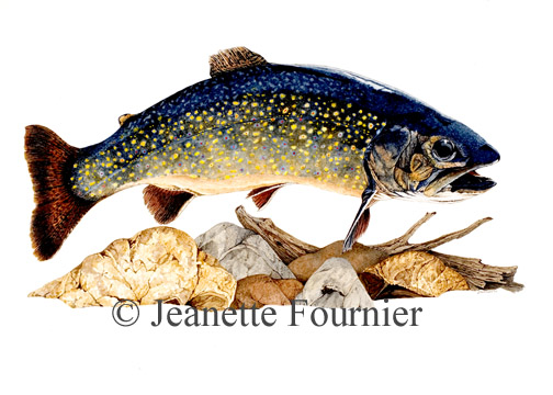 Brook Trout, copyright 2006
