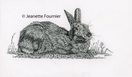 snow shoe hare drawing