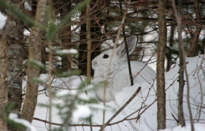 snowshoe hare photo2